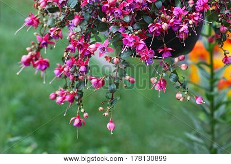 Hanging fuschia flower plant in shades of green, orange natural background