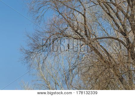 The gray crow sits on a tree waiting for spring
