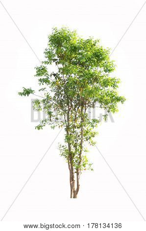 Tree isolated against a white background.Can be conveniently used.