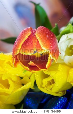 bouquet of tulips closeup macro of yellow red and purple tulips greeting card