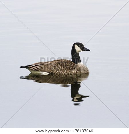 Goose-Goose in the lake, Lippesee , Germany.