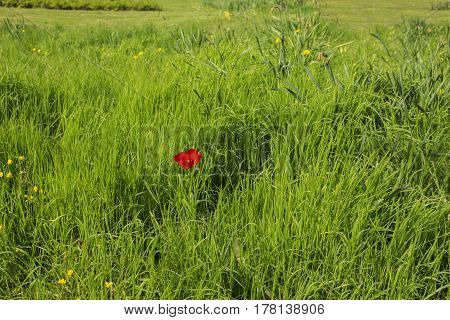A red poppy in a field of green grass