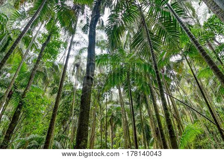 Lush green forest near Curtis Falls on Mount Tamborine in the Gold Coast hinterland, Queensland, Australia.