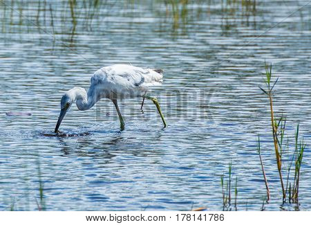 A young little blue heron with its beak in the water making concentric circles of ripples as it feeds
