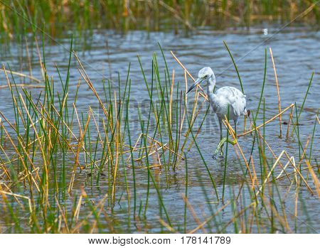 An immature little blue heron with one foot lifted as it wades in the grasses in a pond