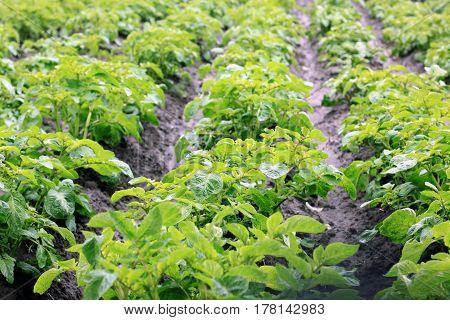 Young green potato bushes in garden in spring