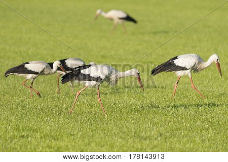 White Storks Ciconia Ciconia in a newly mowed meadow