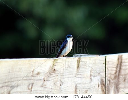 Male Tree Swallow sitting on a fence.