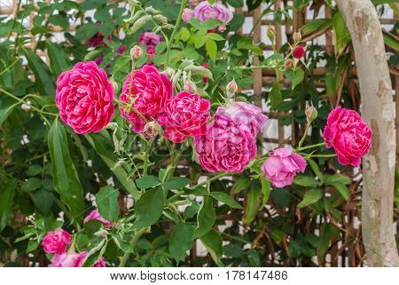 Closeup To Colorful Pink Or Summer Damask Rose/ Rosa ? Damascena Mill./ Rosaceae Flowers