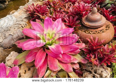 Closeup To Beautiful Bromeliad/ Livingvase/ Urn Plant/ Aechmea Fasciata/ Bromeliaceae