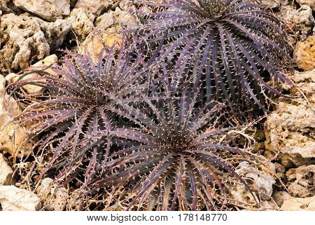 Closeup To Beautiful Dyckia Hybrid/ Urn Plant/ Bromeliaceae
