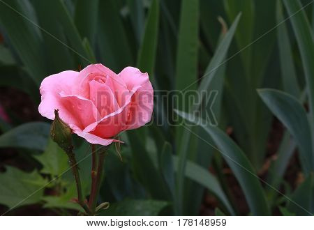 pink rose with dew drops on a green background