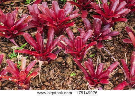 Closeup To Beautiful Neoregelia Fireball/ Urn Plant/ Bromeliaceae
