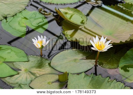 Closeup To Small Water Lily/ Nymphaea Lotus/ Nymphaeaceae