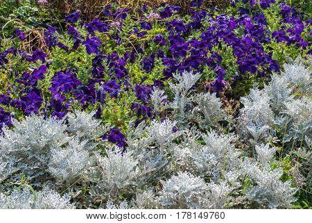 Dusty Miller And Purple Petunia Flowers Garden