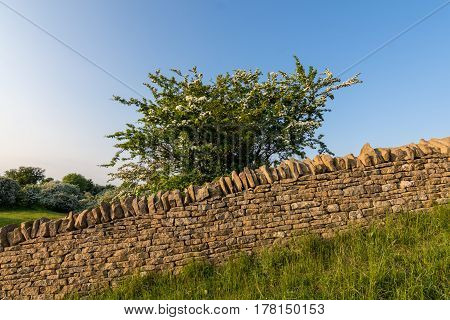 A country side stone wall made of Cotswold stone with blossom tree behind it.