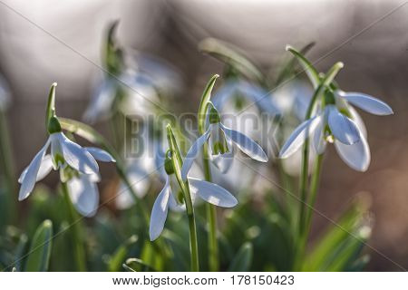 A group of snowdrops in the sunlight.