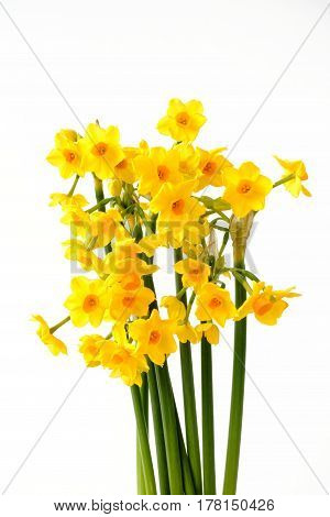 Bouquet of beautiful Paperwhite Narcissus Soleil Dor on white background.