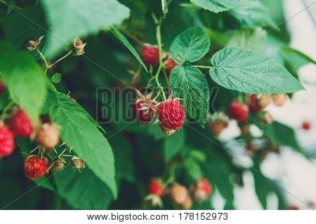 Raspberry cane closeup. Summer garden in village. Growing harvest at farm