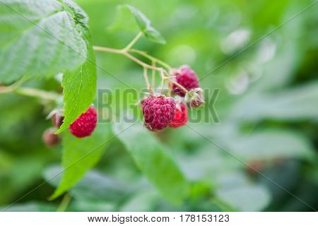 Raspberries closeup on a bush. Fresh organic berries with green leaves on raspberry cane. Summer garden in village. Growing harvest at farm