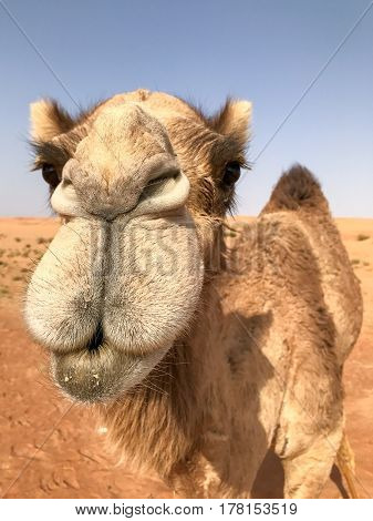 Camelus dromedarius dromedary (also known as arabian camel) looking into camera in very close up portrait vertical frame funny.