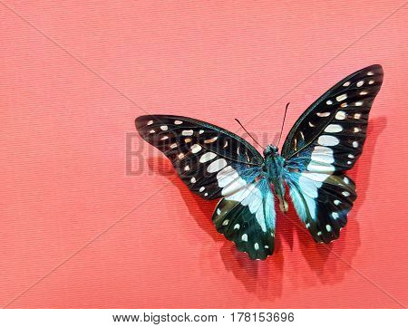 Graphium Agamemnon Butterfly With Open Wings On A Pink Striped Cardboard