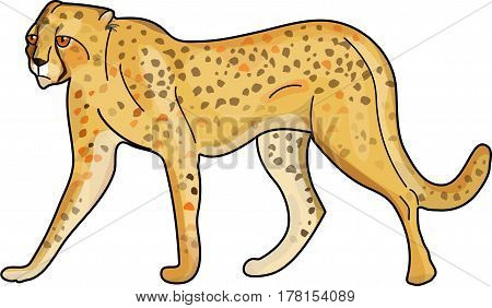 Spotted cheetah standing on a white background.