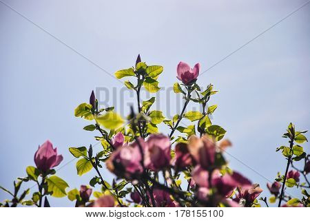 Close-up of pink magnolia flowers on a brunch and blue sky at botanical garden Kyiv Ukraine.