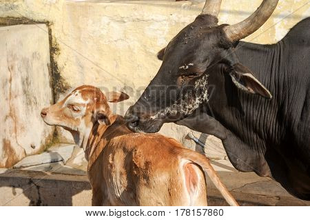 Cow macca licking her calf at Hampi on India