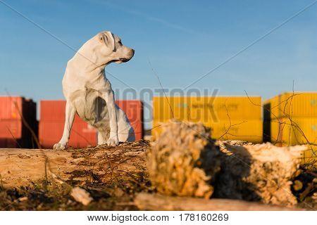 proud white labrador retriever dog in front of blue sky