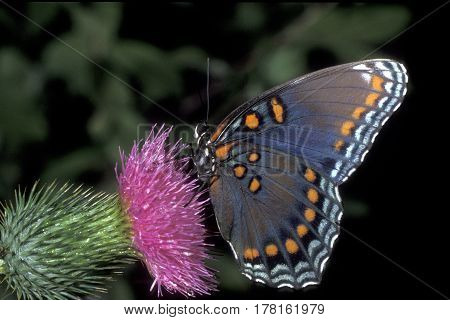 A Red-spotted Purple Butterfly, Limenitis arthemis on thistle