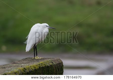 Little Egret in the city. Devon. Exeter