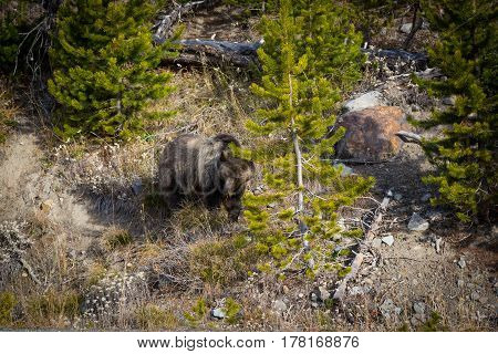 Grizzly bear sow foraging for food on hillside