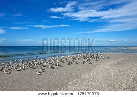 Seagulls of the Beautiful Coastline of Anna Maria Island Florida