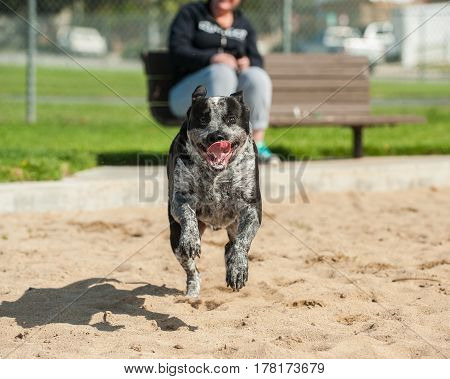 Mixed breed pit bull dog galloping across the sand at the park.