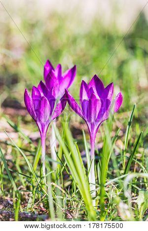 Purple crocuses saffron flowers on green background