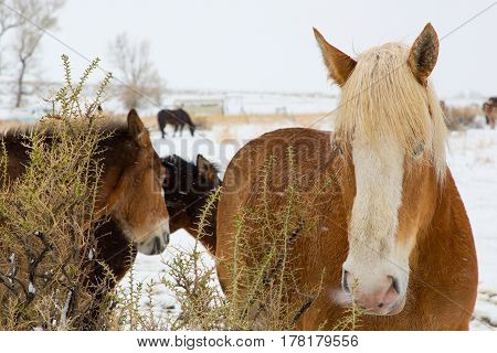 Horses and mules surviving the cold winter snow