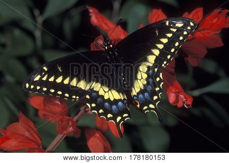 A male Eastern Black Swallowtail Butterfly, Papilio polyxenes on a branch with red flowers