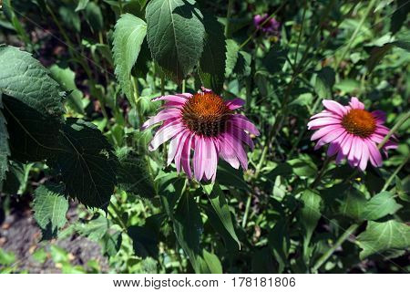 Purple coneflowers (Echinacea purpurea) bloom during June in Joliet, Illinois.
