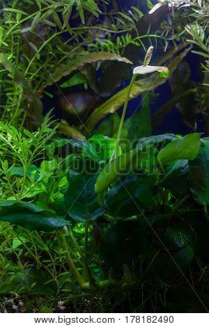 Aquarium underwater garden with hardy Anubias barteri var. nana Dwarf Anubias blooming along with lush aquatic tropical plants