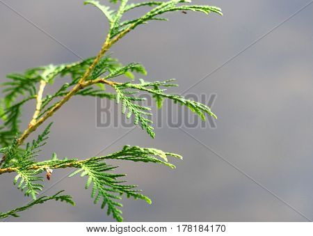 Delicate needle type leaves of a Cedar bush