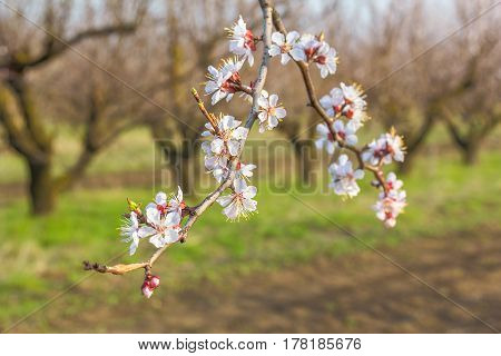 Flowering apricot tree branch close up on a blurred background of spring orchard. Selective focus