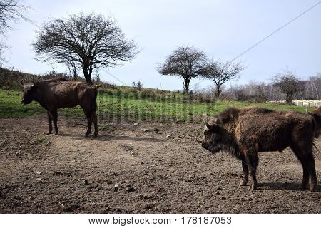 European brown bison  (Bison bonasus)  that live in nature reserves in Europe