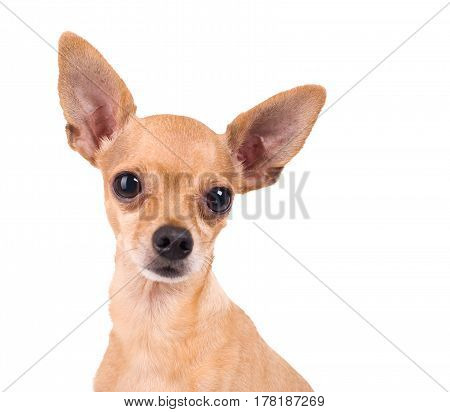 funny Toy Terrier on a white background
