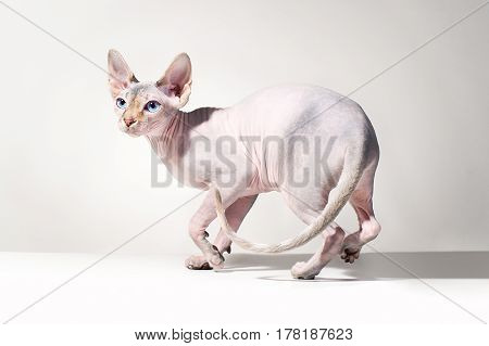 Young canadian sphinx cat on gray background