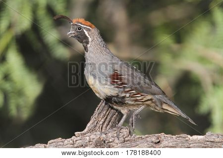Gambels Quail (Callipepla gambelii) on a log
