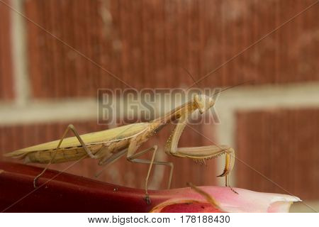 A preying mantis on a stalk of rhubarb sizing you up.