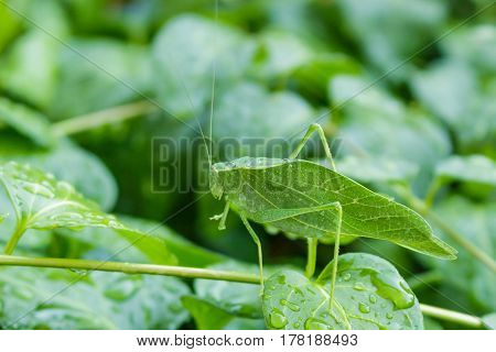 A Katydid leaf bug on a vinca vine covered with water droplets.