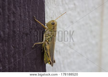 A grasshopper on a brown doorjamb of a shed.
