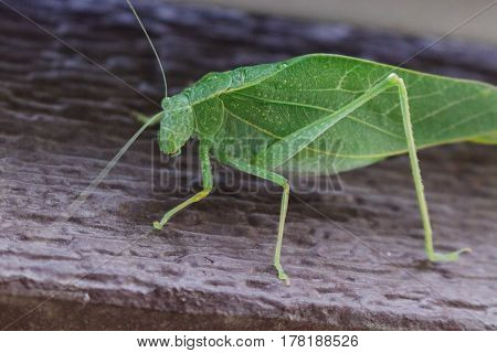 A katydid leaf bug on a brown doorway giving you the eye.